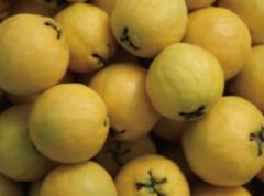 구아바 생(生) 노란과일 5kg